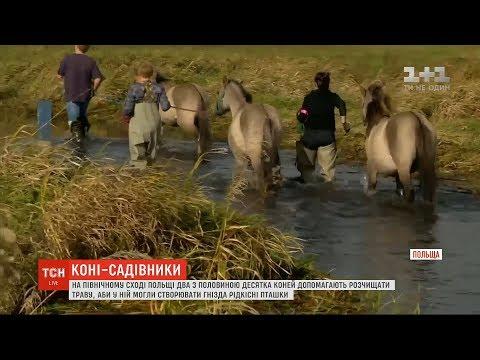 ТСН: У Польщі коні допомагають розчищати траву, аби у ній могли створювати гнізда пташки