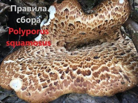 ТРУТОВИК ЧЕШУЙЧАТЫЙ. ПРАВИЛА СБОРА /Polyporus squamosus