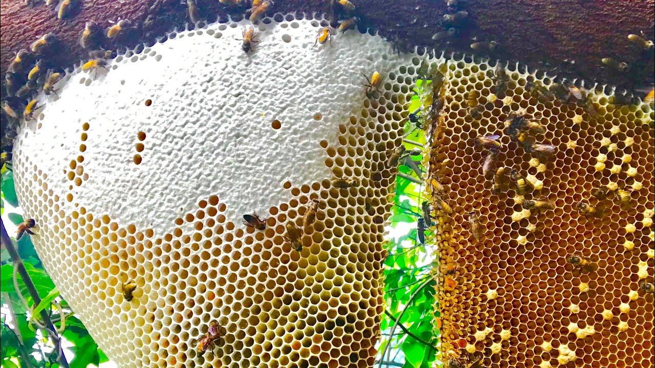Phát Hoảng Sau Một Tuần Trăng Thăm Lại Ong Khoái khủng 14kg Đã khai Thác •  Xách Mật Còng Lưng