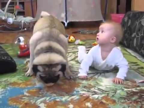 Perrito Pug lucha contra bebé por deliciosa galleta