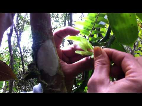 Pollinating Wild Vanilla Orchid in Hawaii
