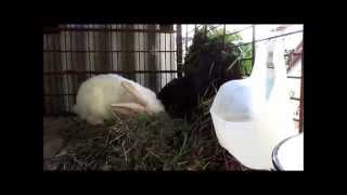 неудачное спаривание кроликов , крольчиха сама от имела крола