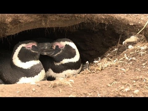 Magdalena Island: where monogamous penguins come to breed