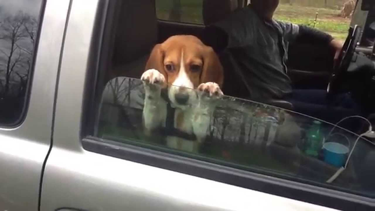 How To Put A Wallpaper On Your Car Beagle Puppy Hangs On Car Window Youtube