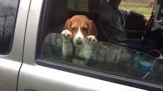 Beagle Puppy Hangs on Car Window