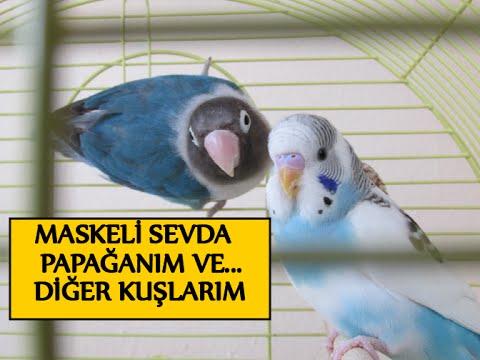 Maskeli Sevda Papağanım Ve Diğer Kuşlarım
