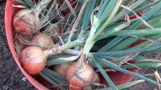 Onions & Winter | August (ep22/y2) | Sean's Allotment Garden