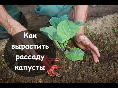 Выращивание арбузов Рассада арбуза
