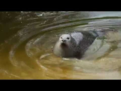 Seal, River Ouse near St Ives, Cambridgeshire