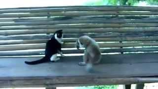 Обезьяна играет с кошкой !