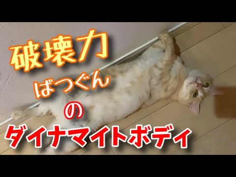 ダイナマイトなボディで誘惑しちゃう猫