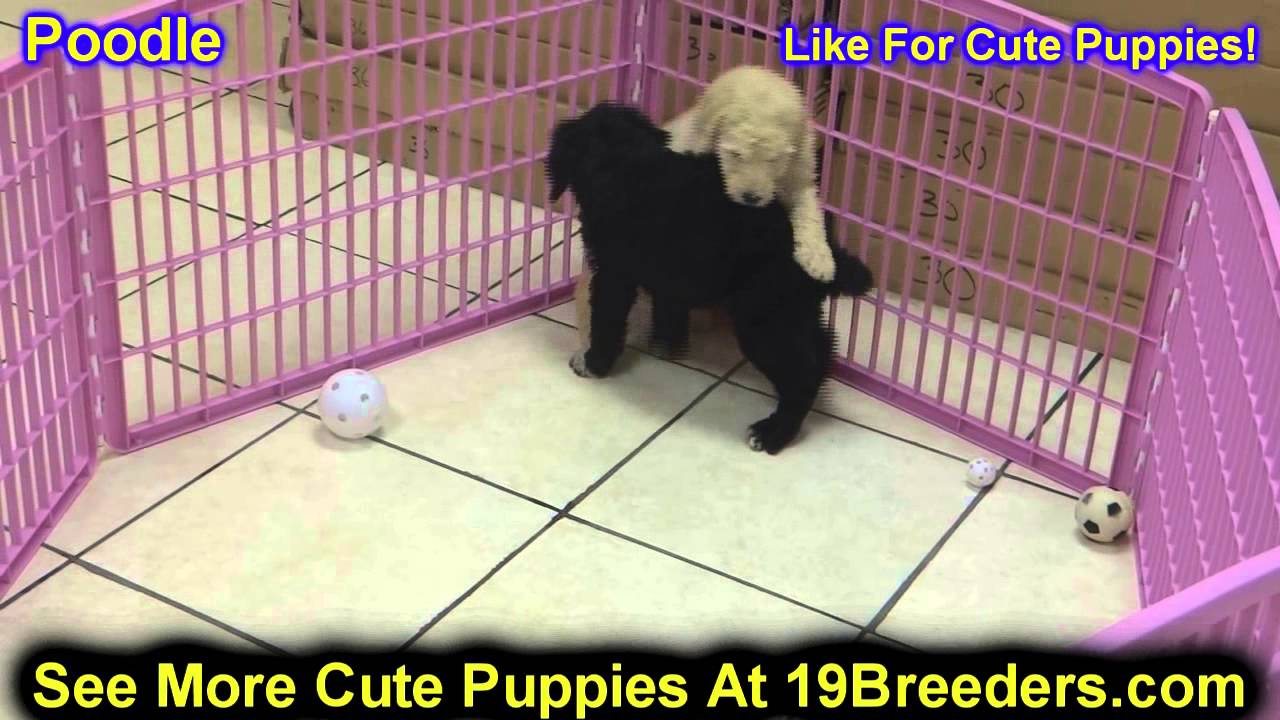 Standard Poodle Puppies For Sale In Portland Maine Me