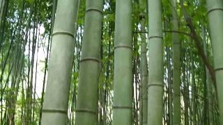 видео Бамбуковая роща