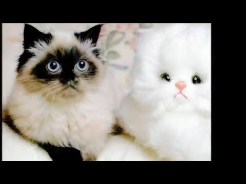 Beautiful photos of breed Himalayan cats