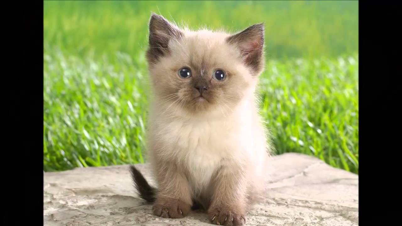 Himalayan cats: photos, description of the breed, character, characteristics of the content and care 95