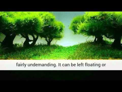 Java Moss Easy Live Fresh Water Aquarium Plants 4 99