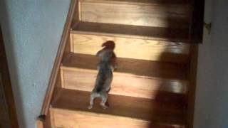 Puppy learns to climb stairs Thumbnail