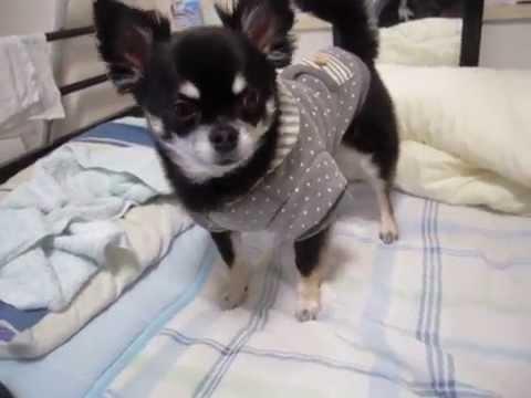 ウチの愛犬、白まゆの黒チワワ「ブラックタン」