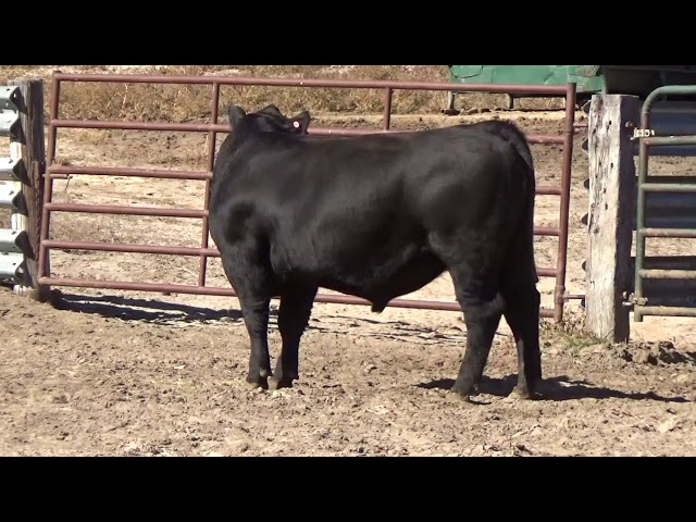 Connealy Angus Lot 185