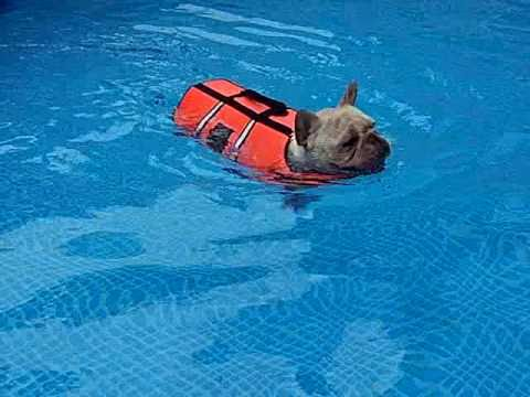 French Bulldog Swimming In The Pool Youtube