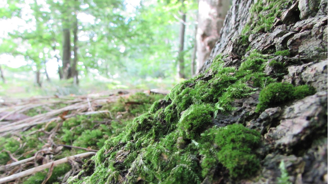 Moss  Bryophyta