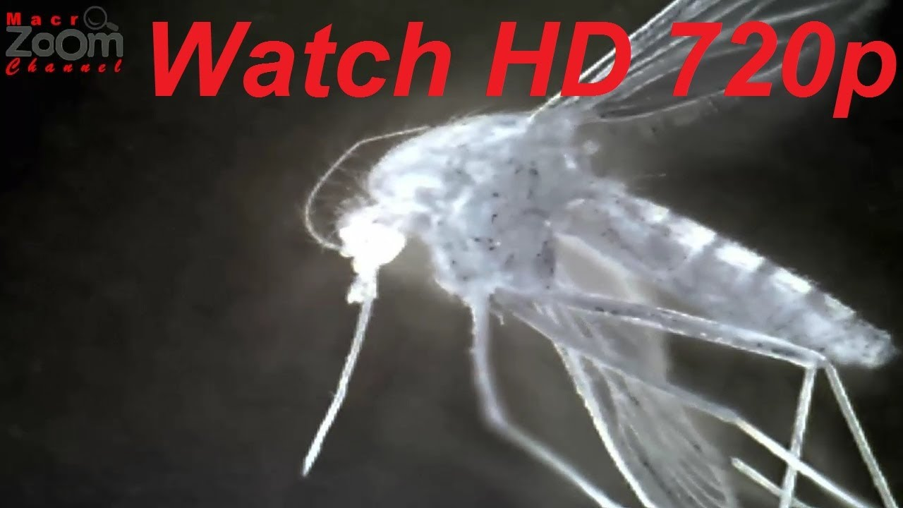 Mosquito-Gnat 2 (X-Ray Light Close-Up Anatomy) - YouTube