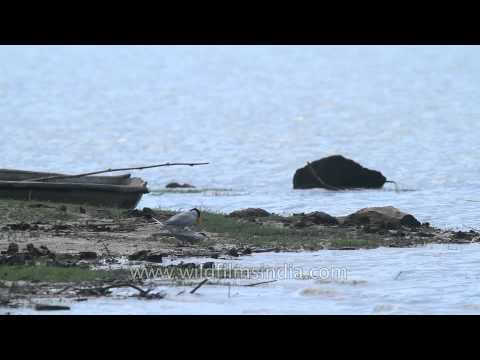 Bird Mating : Indian River Tern pair mating in central India