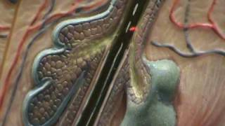 Composite Skin Model - Hair Follicle