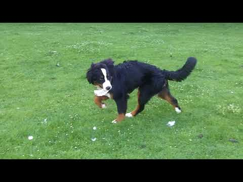 Bernese Mountain Dog Murphy playing with himself.