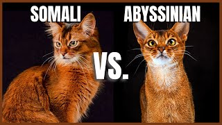 Somali Cat VS. Abyssinian Cat