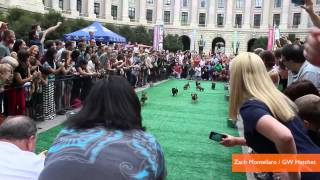 Wiener Dogs Race In The Dachshund Dash 2013