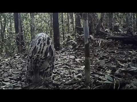 A Sunda Clouded Leopard Scent Marking