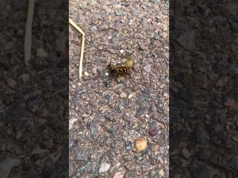 Wasp VS caterpillar