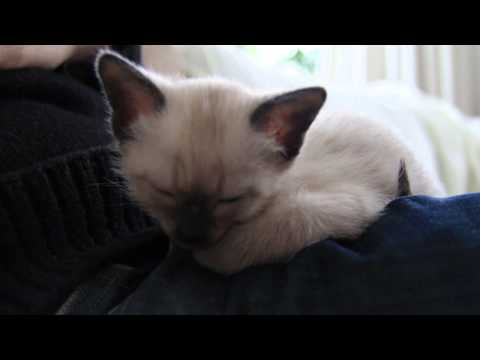 Traditional Siamese kitten waking up SUPER CUTE
