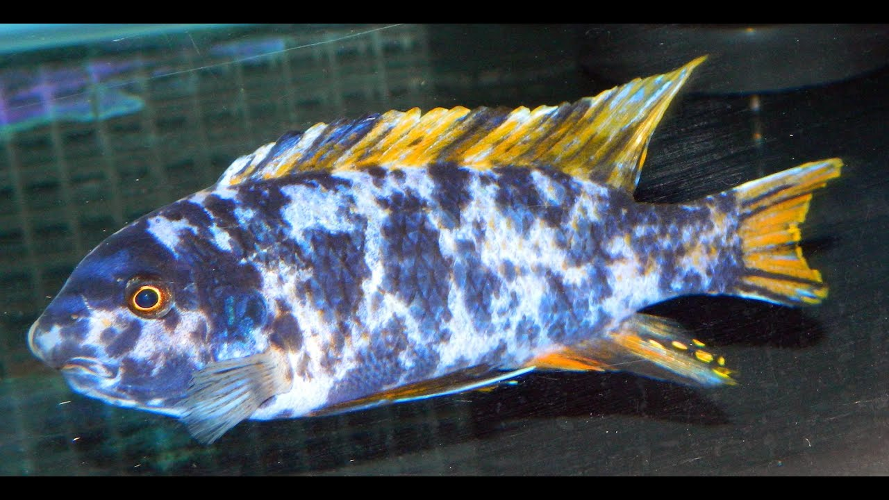 Labeotropheus Fuelleborni Marmalade Cat Breeders - YouTube