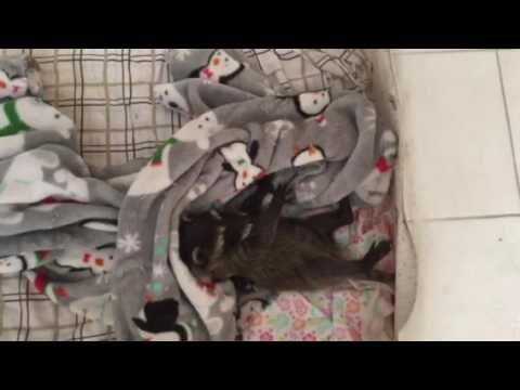 Baby raccoon tries to cover herself with blanket