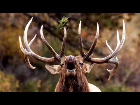 Elk Bugle Ringtone Free Ringtones Downloads
