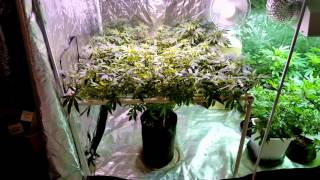 4x4 Grow Tents. Look who's back!!!(, 2016-03-06T17:51:47.000Z)