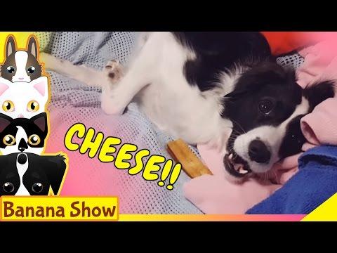 😂 DOG VS. CHEESE || Banana the Talking Dog Show Ep: 20