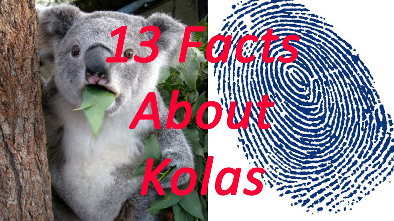13 Facts About Koalas - YouTube