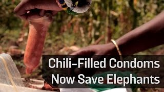 Chili-Filled Condoms Now Save Elephants