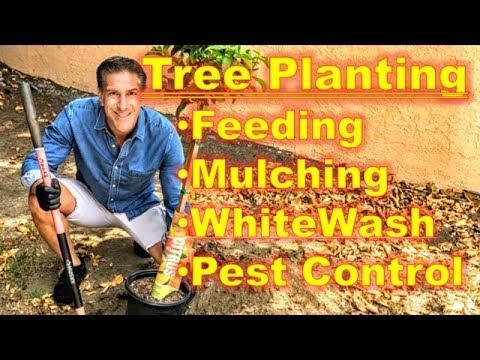 Fruit Tree (Eureka Lemon) In-Ground Planting Tips: Feeding, Mulching, Pest Control, WhiteWash