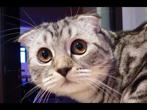Toffee from Scottish Fold Kitten to Cat - Cute and Funny Cats Compilation