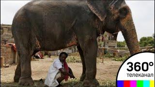 Слон затоптал мужчину за совместное селфи. Видео