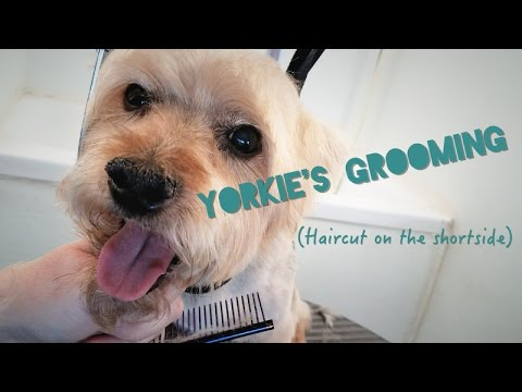Yorkie Grooming Haircut On The Short Side Youtube