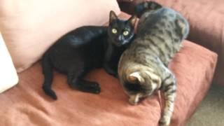 Кошачья мята и коты (How catnip affects cats)