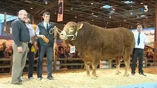 Les éleveurs de Limousine préparent à leur façon le salon de l'agriculture