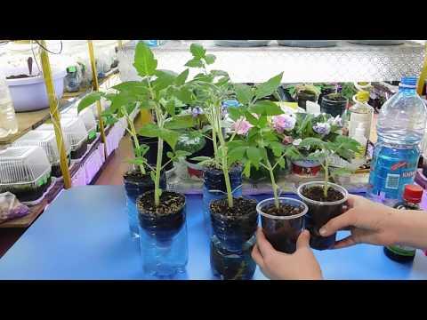 🌱ТОМАТЫ РАСТУТ В 2 РАЗА БЫСТРЕЕ ! УСКОРЕНИЕ РОСТА РАССАДЫ !🌱 How to grow tomato seedlings