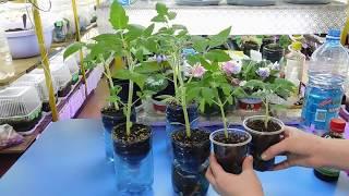 Томаты растут в 2 раза быстрее! Ускорение роста рассады!