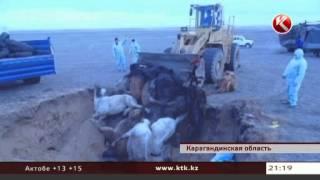 Редкая болезнь косит лошадей в карагандинском поселке